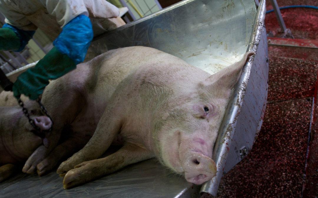 Schweineleid