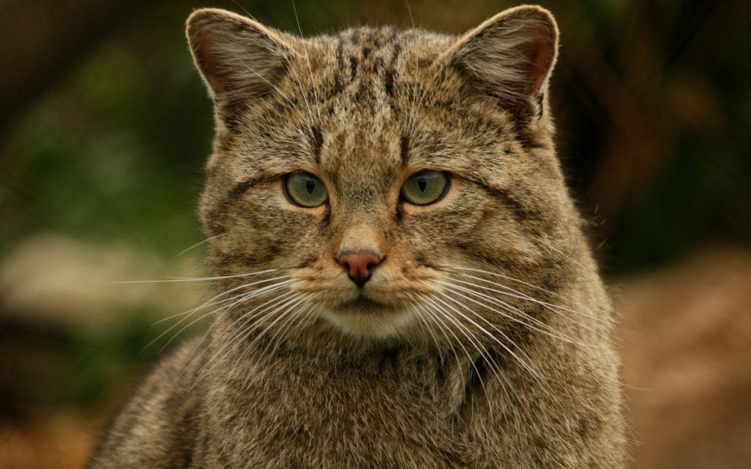 Tierschutz Beitrag Wildkatze