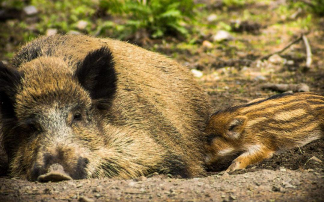 Das Wildschwein