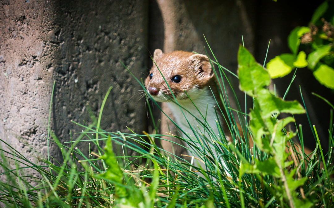 Das Mauswiesel