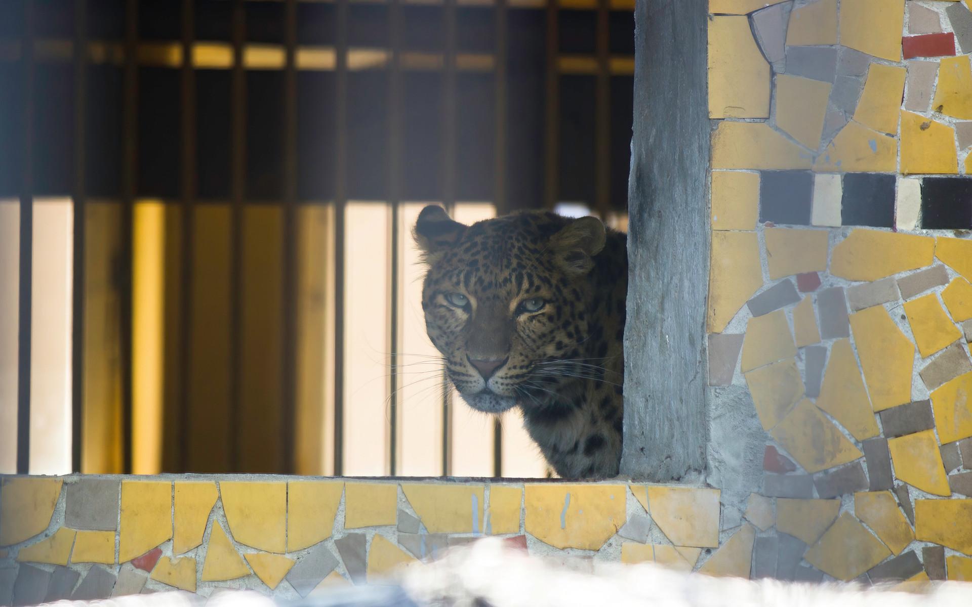 Leoparde in Gefangenschaft