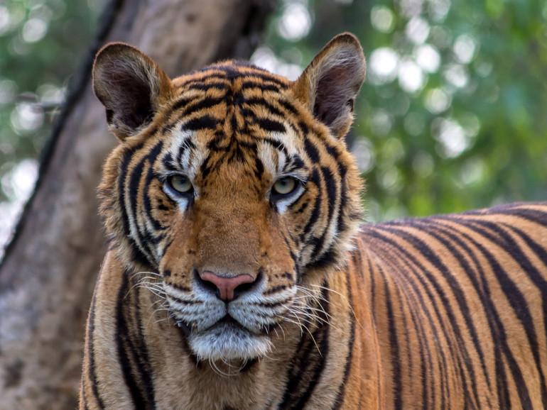 Tigerhandel