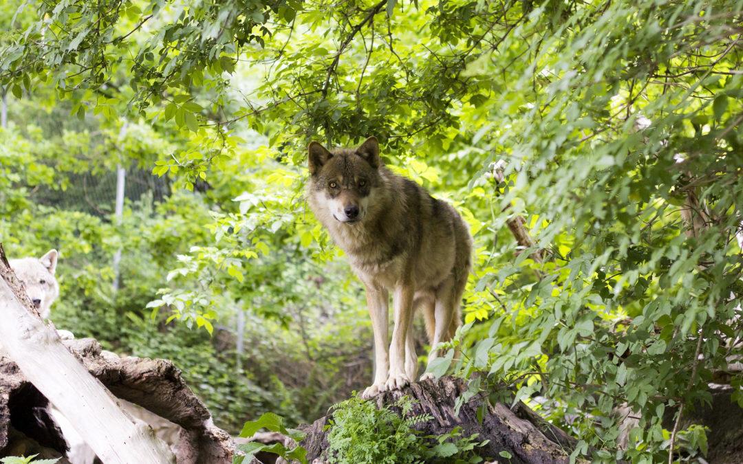 Tierschutz Beitrag Wolf