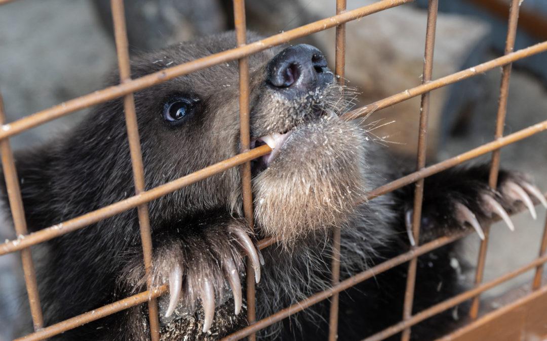 Der Gallenbär – Bärenfarmen in Vietnam