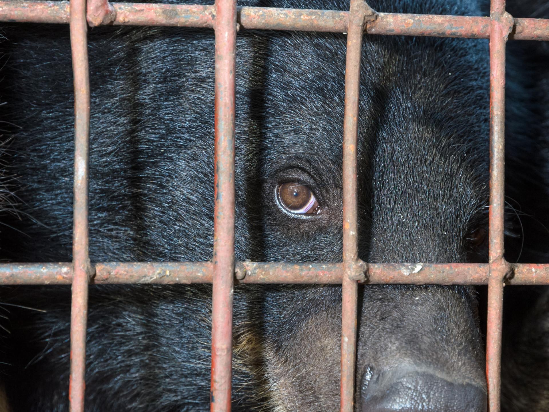 Gefolterter Kragenbär