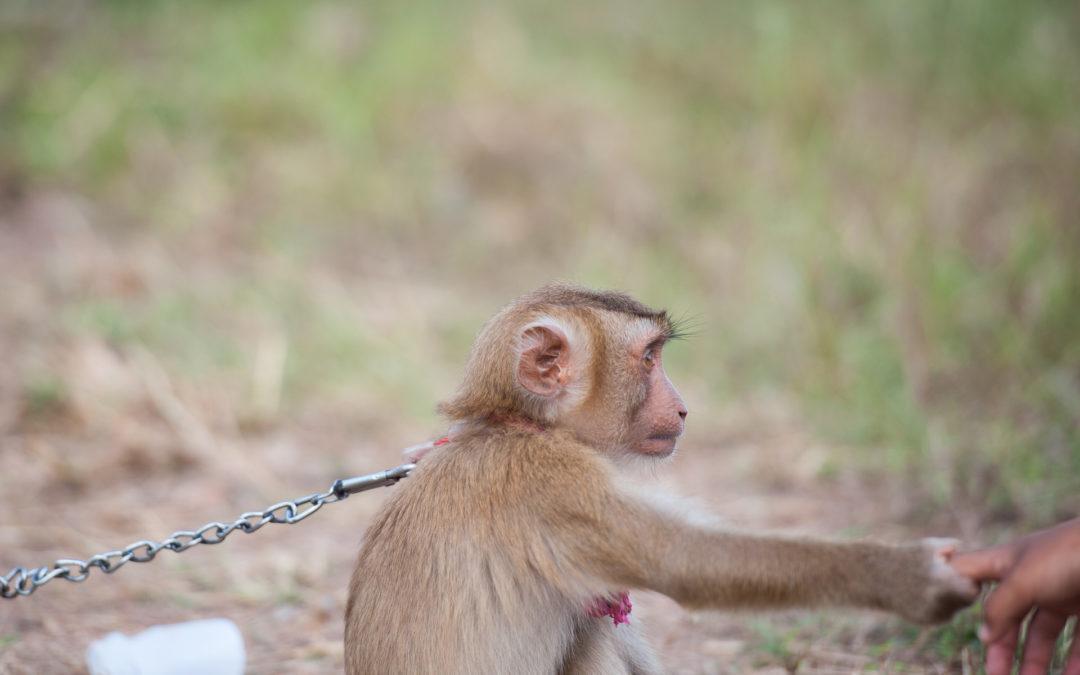 Kokosmilchaffen – die verzweifeltsten Primaten der Welt!