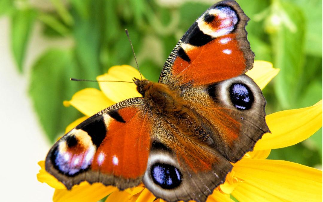 Tierschutz Beitrag Schmetterling